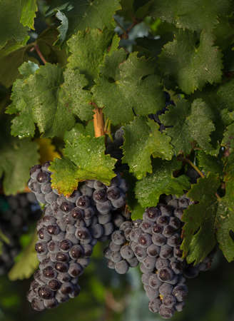 Cluster of Red Malbec Wine Grapes Hanging on the Vine photo