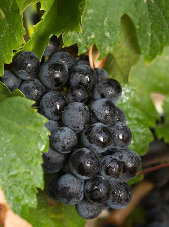 Cluster of Wet Red Wine Grapes on the Vine Stock Photo