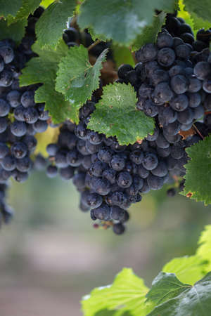 Malbec Grape Clusters Stock Photo