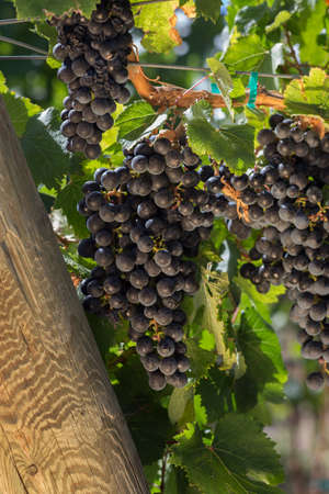 Malbec Grapes on the Vine