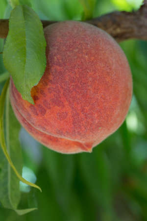 Pump Juicy Organic Peach on the Tree With Leave Stock Photo