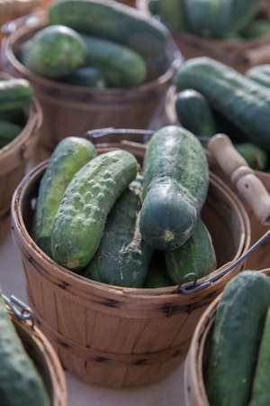Fresh Organic Cucumbers for Pickles in Brown Bushel Baskets Stock Photo
