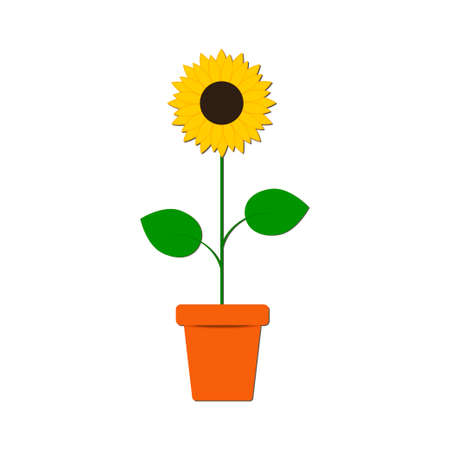 Sunflower in the pot isolated on the white background