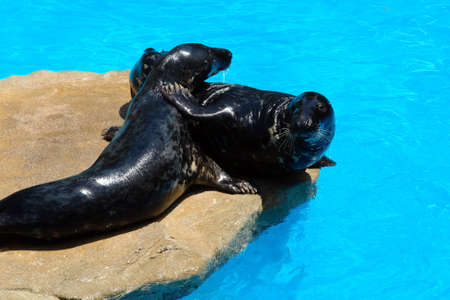 romp: two sealions playing before having cool bathing
