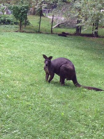 Wallaby relaxing in the grass Imagens