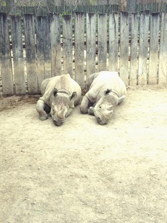 Napping Rhinos