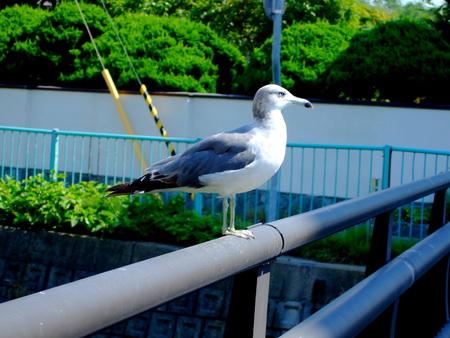 橋の上のカモメ