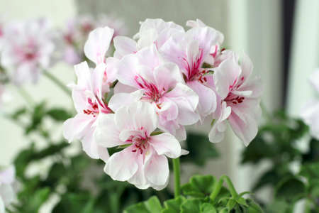 Pelargonium graveolens are flowering plants that include about 200 species, also known as geraniaceae. Stock Photo