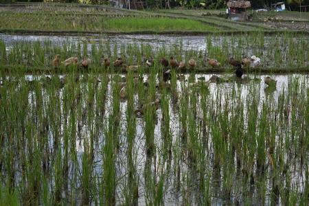 ubud: Rice Fields in Bali, Indonesia