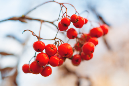 Close up view of a red rowan berries against the background of dry branches and a gray sky in bokeh Stock Photo