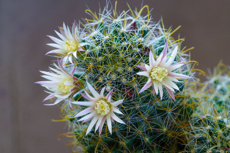 Close up view of a white flowers with pink veins of cactus mammillaria