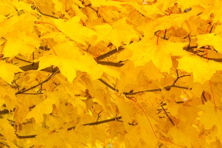 Yellow autumn foliage on a tree as background, texture