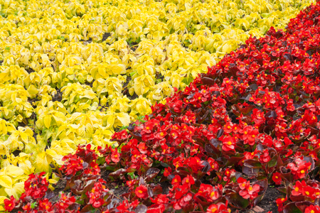 Abstract view on a of red begonia flowers and yellow decorative leaves of the coleus, separated by a diagonal line, as background Standard-Bild