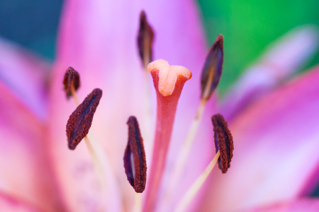 Close up view on a stamens and pistil of a pink flower of lily plant (shallow depth of field, macro) Stock Photo