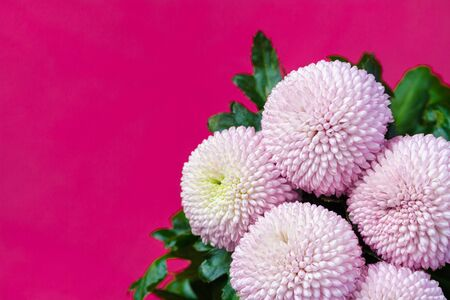 Close up view on a bouquet of the pink Chrysanthemum flowers on a purple background Stock fotó