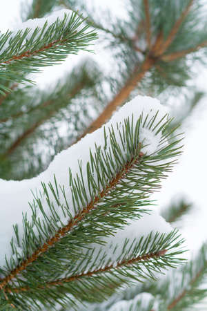 Close up view on a fir tree branches covered with snow