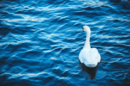 White swan floats on the blue river on the waves, spring