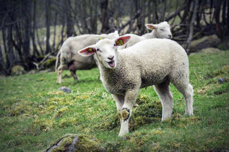 two small white lambs standing on a green pasture - flam norway spring Stock Photo