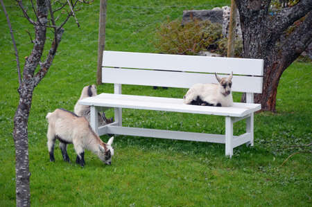 Bench and sheep on a green pasture - flam norway spring