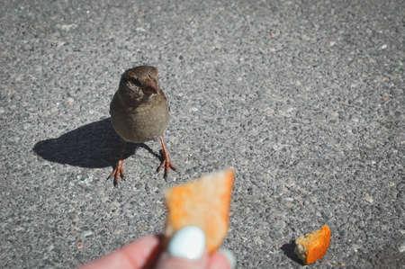 Feeding sparrow. A bright sparrow pecks bread crumbs. Female hand holding a cracker.