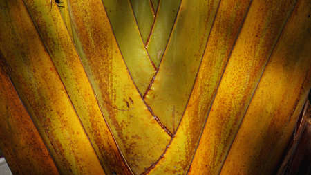 Texture of Travellers palm tree petiole - Ravenala madagascariensis Sonn. Close up texture, color and pattern detail