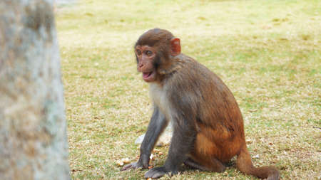 Funny monkey lives in a natural forest of China, Hainan