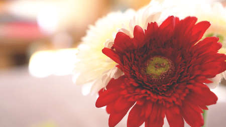 Gerbera flower isolated in soft focus. Sunny blurred background