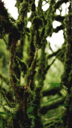 Old growth temperate rainforest, Georgian jungle - trees in the moss Stock Photo