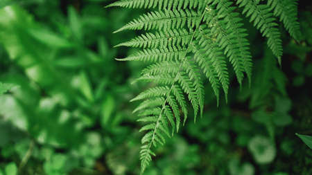 Green Fern Abstract Background. Natural background - Forest Stock Photo