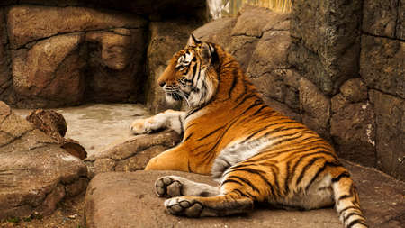 Siberian tiger lies on a stone slab. The tiger is basking in the sun. The concept of predators and wild animals