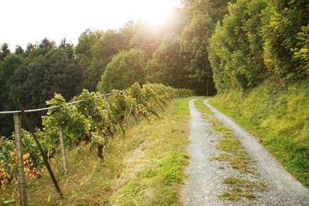 rheintal: Kiesweg im Rebgebiet