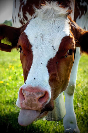 cow shows his tongue out photo