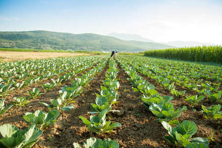 cabbage patch: green cabbage field