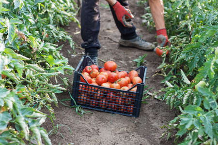 young male farmer picking up fresh tomatoes at plantation