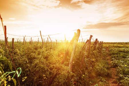 granja: tomates plantas en sol de la tarde Foto de archivo