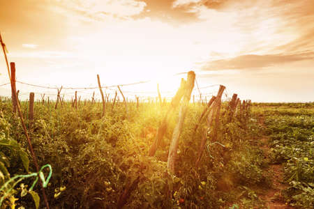 farm field: tomatoes plants in evening sunshine Stock Photo