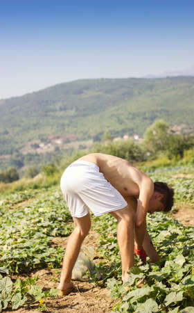 outweigh: boy picking up the cucumbers at farmer field Stock Photo
