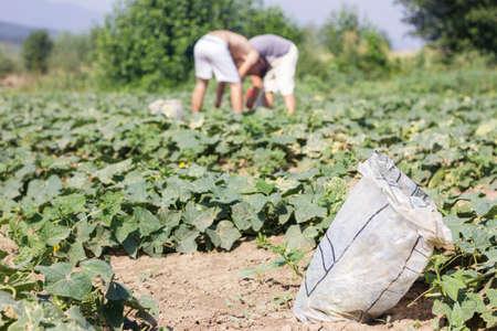 stoop: harvesting bag in front of harvesting helper picking up the cucumbers