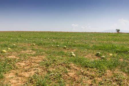 melon field: water melon field