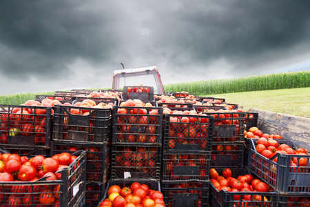 tractor charged with crates filled by red tomatoes to transport them to market Stock fotó