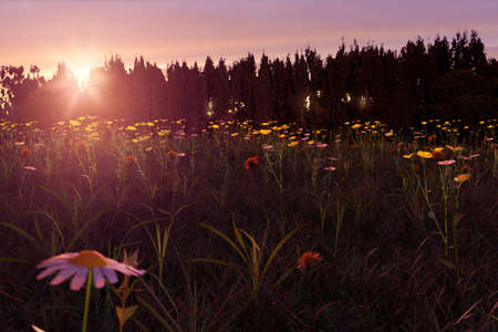 3d rendering of blurred daisy flower in the meadow during beautiful sunset