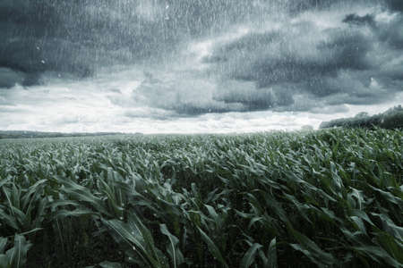 劇的な雲と雨の前に緑のトウモロコシ フィールド