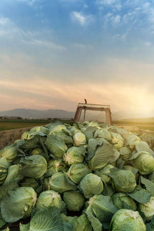tractor charged with harvested cabbages to transport them to market Stock Photo