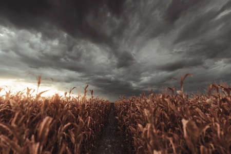 pathway in the middle of withered cornfield in front of dramatic sky. Selective focus