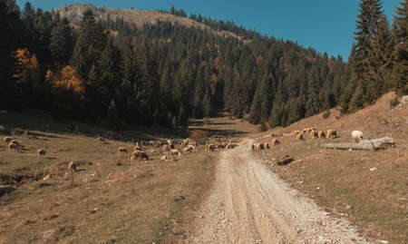 gravel path and pasture of nature with grazing flock of sheep at Boge of Rogove. Kosovo