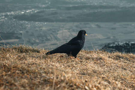 alpine chough staying on weathered grass and looking down to the valley