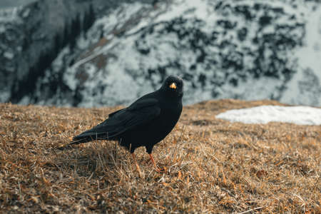 curious alpine chough staying on weathered grass in front of snow covered mountain Reklamní fotografie