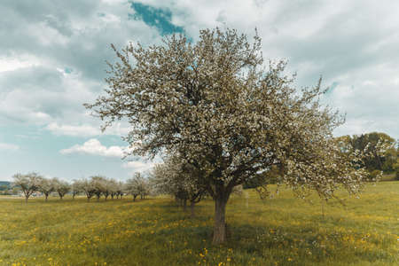 blossoming apple tree at swiss countryside