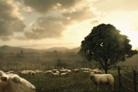Herd of sheeps grazing at meadow in the evening sunlight
