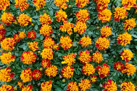 A group of brown orange marigold, in a pot, ready for sale  Imagens
